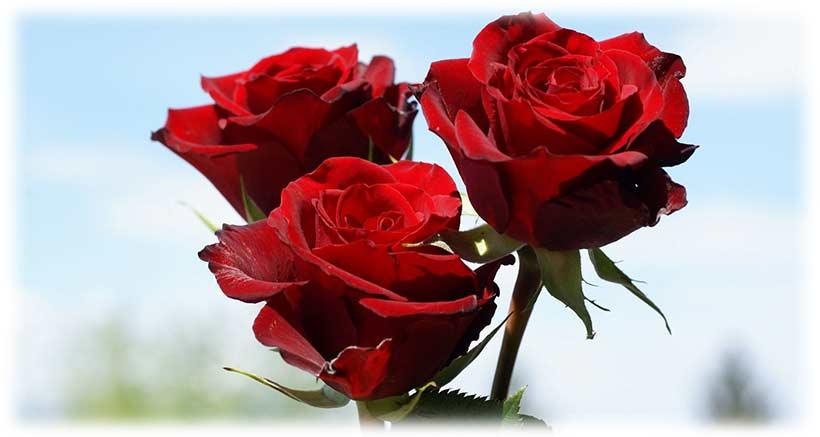 شاخه گل رز